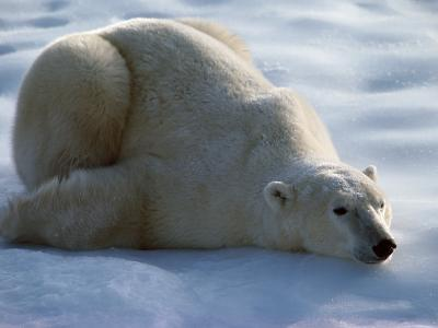 Polar Bear Relaxing on Ice, Canada