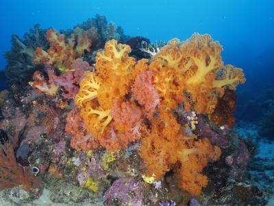 Brightly Colored Soft Coral Growing on a Coral Reef in Ocean Water, Suluwesi, Indonesia