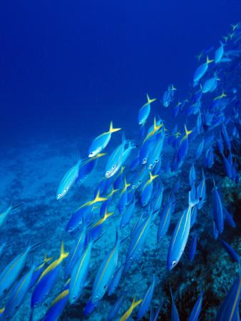 School of Tropical Fish Swimming Above Ocean Floor, Fiji