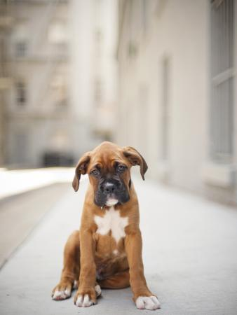 2 Month Old Boxer Puppy Standing in Alley