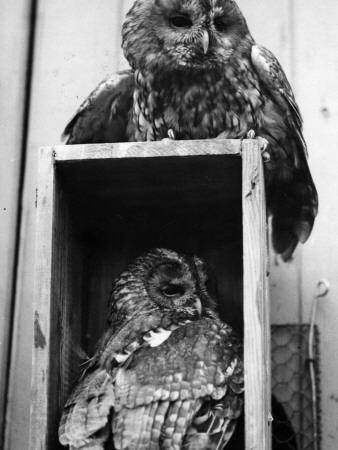 Owls Sleep