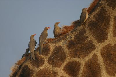 Giraffe (Camelopardalis Giraffa) and Oxpeckers (Buphagus Africanus) South Africa