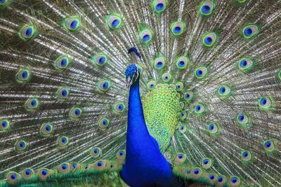 Peacock Displaying His Colorful Feathers, close Up