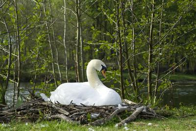 A Swan on its Nest