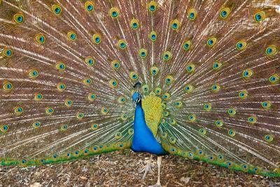 Peacock Attraction