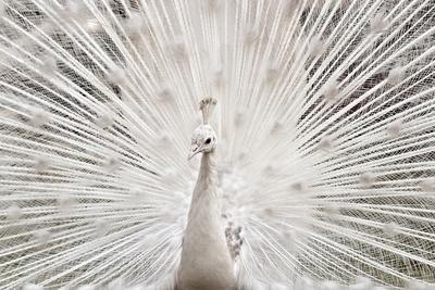White Peacock, Lahore