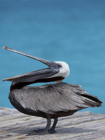 Brown Pelican Dock, Caribbean