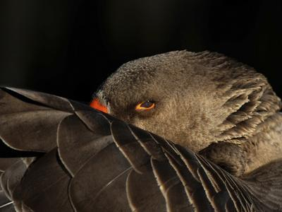 A Goose Staring at the Camera