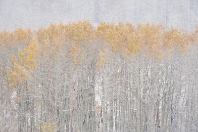 Aspen Trees in Autumn during Snow Fall. the Wasatch Mountains in Utah.