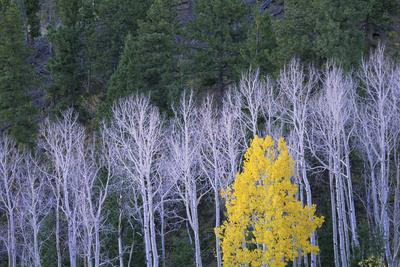 Autumn in Dixie National Forest. White Branches and Tree Trunks of Aspen Trees, with Yellow Brown F