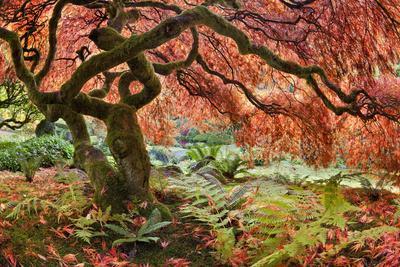 Japanese Maple (Acer Palmatum) Tree in Autumn