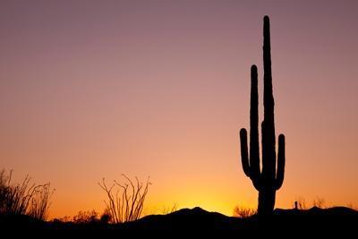 Usa, Arizona, Tucson, Saguaro National Park, Saguaro Cactus at Sunset