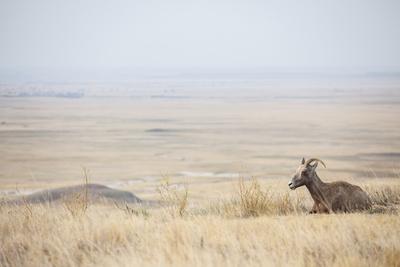 Usa, South Dakota, Badlands National Park, Deer on Plain