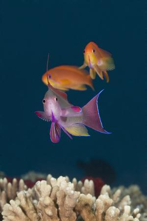 Colorful Tropical Fish (Anthias) on Coral Reef