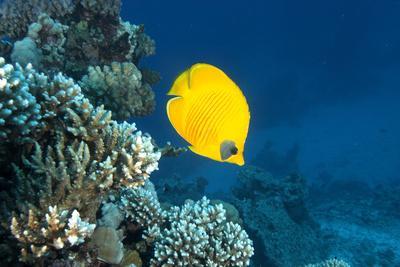 Masked Butterfly Fish, Chaetodon Semilardartus, St Johns Reef, Red Sea