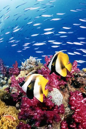 Australia, Bannerfish on the Great Barrier Reef (Digital Composite)