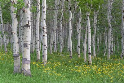 Grove of Aspen Trees, with White Bark and Bright Green Vivid Colours in the Wild Flowers and Grasse