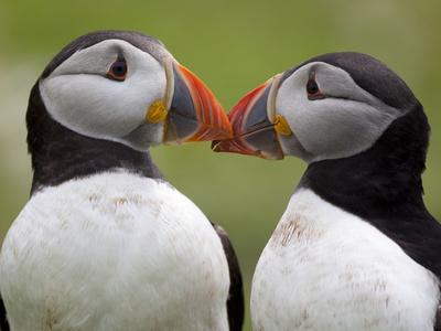 2 Atlantic Puffins Touching Beaks