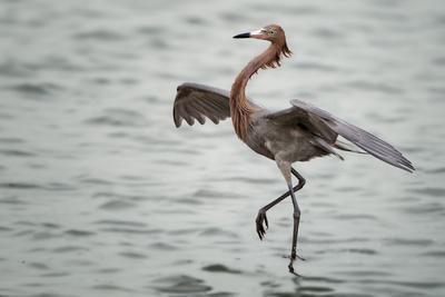Reddish Egret Fish Dancing