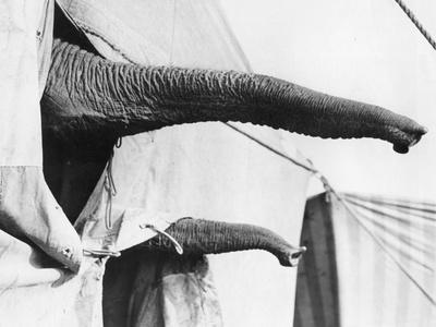 Elephant Trunks