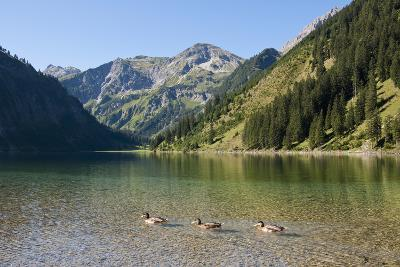 Austria, View of Lake Vilsalpsee, Ducks in Foreground