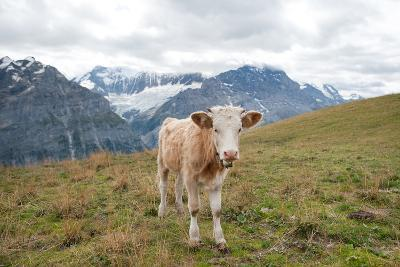 Swiss Alps Cow