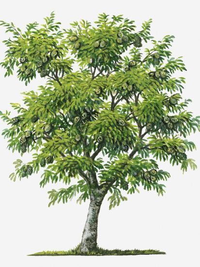 Illustration Of Evergreen Annona Muricata Soursop Tree