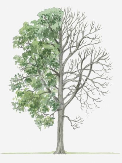 Illustration Showing Shape Of Deciduous Acer Heldreichii