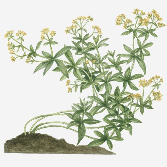 Illustration of Rubia Tinctorum (Common Madder, Dyer's Madder) Bearing Yellow Flowers on Long Curvi Photographic Print by Valerie Price at AllPosters.com