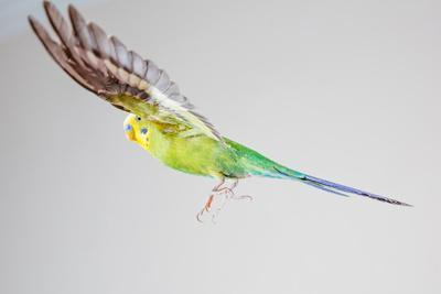 Green Budgerigar in Flight