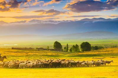 Bathed in Sunset Light Sheep on Grassland