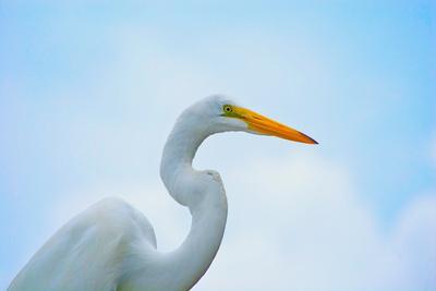 Great White Heron