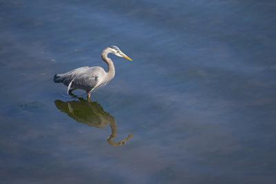 Great Blue Heron Foraging in the Water