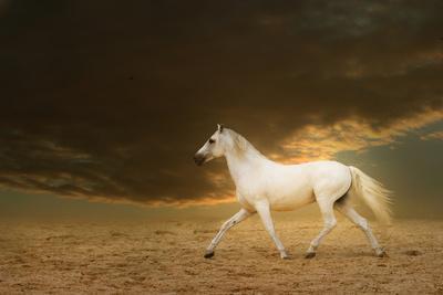 White Lusitano Horse Running on Sand