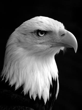 Haliaeetus Leucocephalus (Bald Eagle)