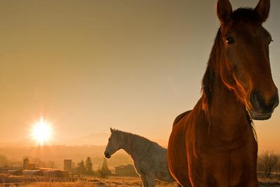 Two Horses at Morning Light in the Fields.