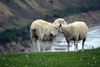 Sheep Cuddles