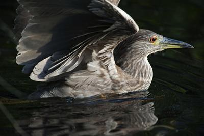 Juvenile Black-Crowned Night Heron in Water