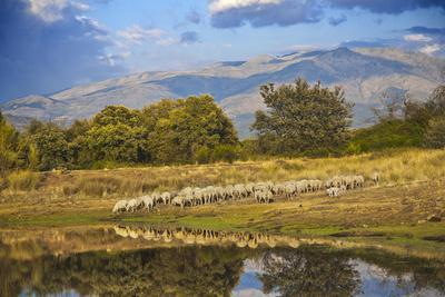 Sheeps in Dehesa, Typical Pasture of Extremadura.