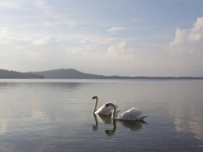 Swans Swimming along Tranquil Lake Waters