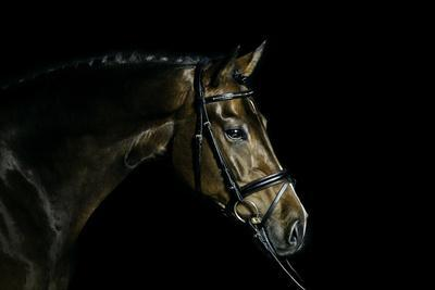 Purebred Bay Horse Ready for a Contest