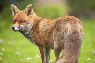 Adult Red Fox Vixen in a London Garden