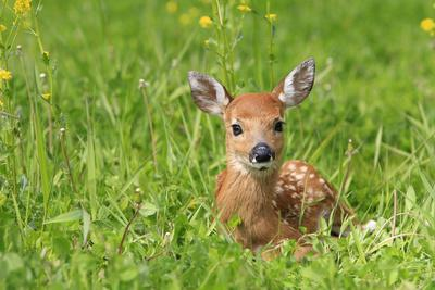 FAWN . WHITE TAILED DEER