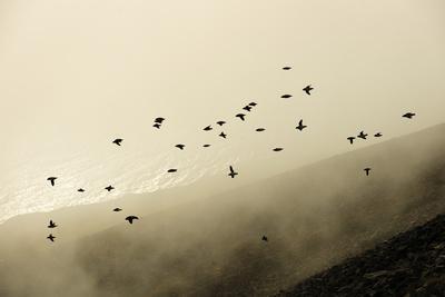 Flock of Flying Little Auks (Alle Alle)