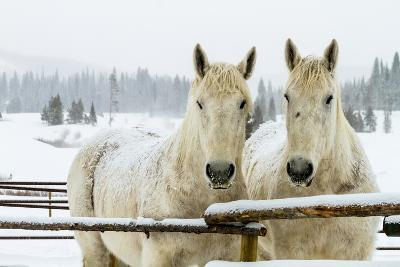 Two White Percheron Horses in Snow