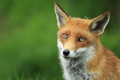 Closeup of Fox