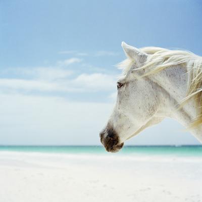 White Horse on Beach, Close-Up