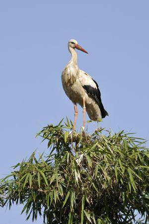 White Stork in Tree Top, Chellah, Morocco