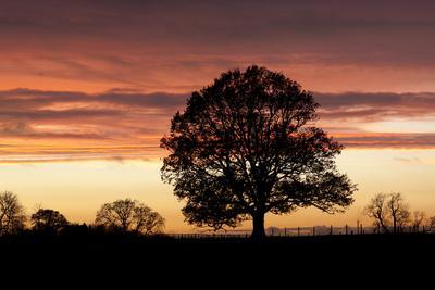 Oak Tree Viewed against Sunset