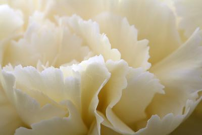 Cream Coloured Carnation, Close-Up